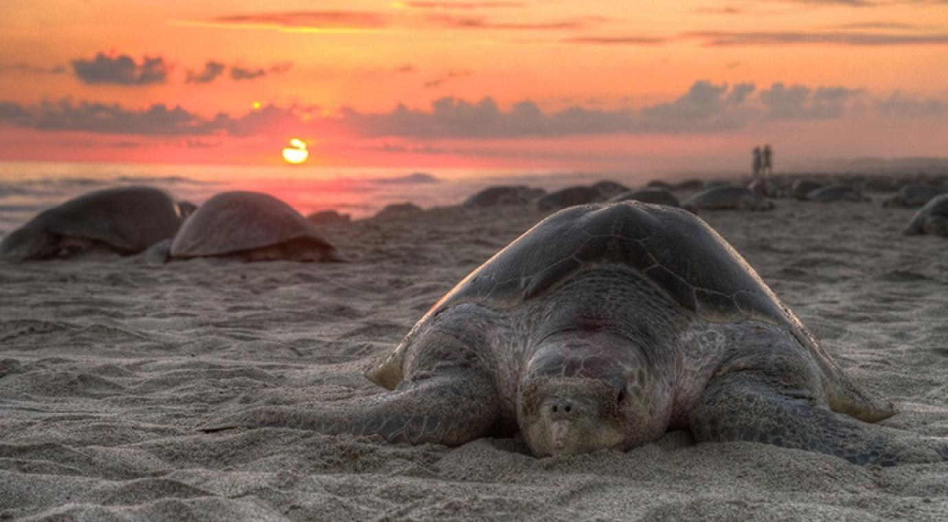 main-turtle