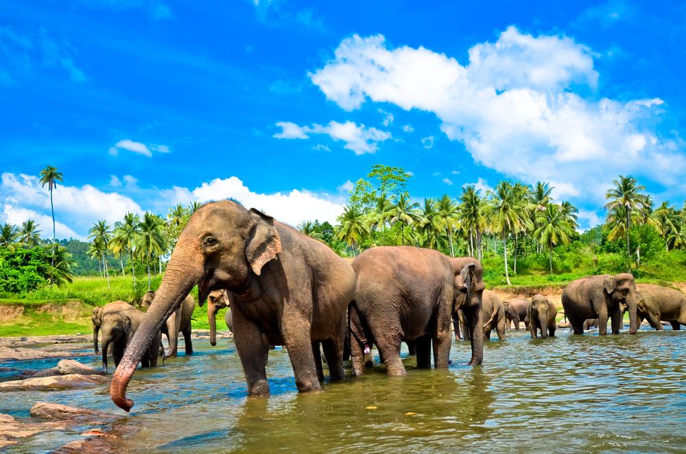 Pinnawala-Elephant-Orphanage-2