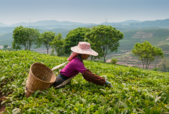 Young-woman-collecting-tea-in-a-tea-plantation-Nuwara-Eliya-Sri-Lanka